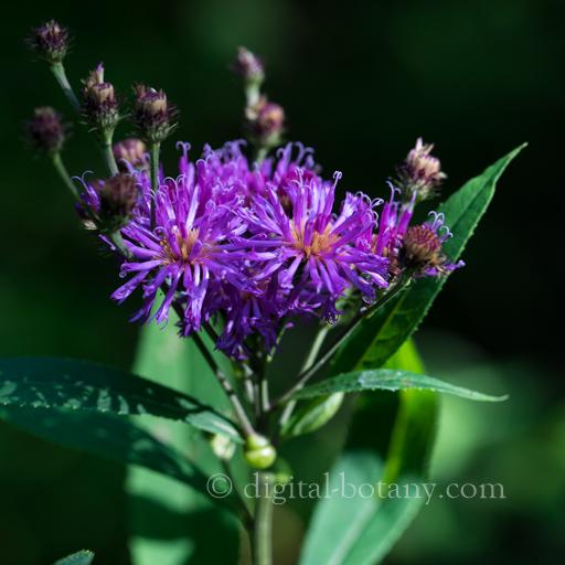 Appalachian Ironweed
