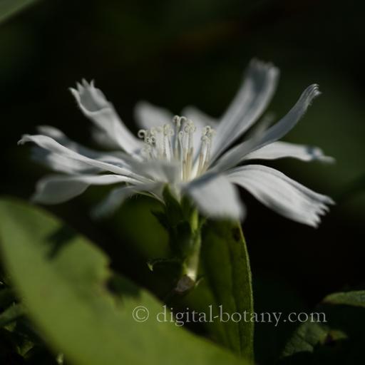 White Chicory