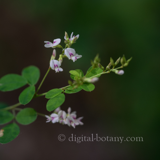 Creeping Bush Clover