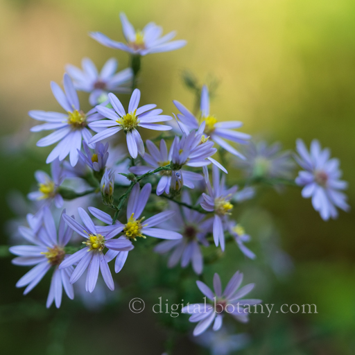 Wavy-leaved Aster