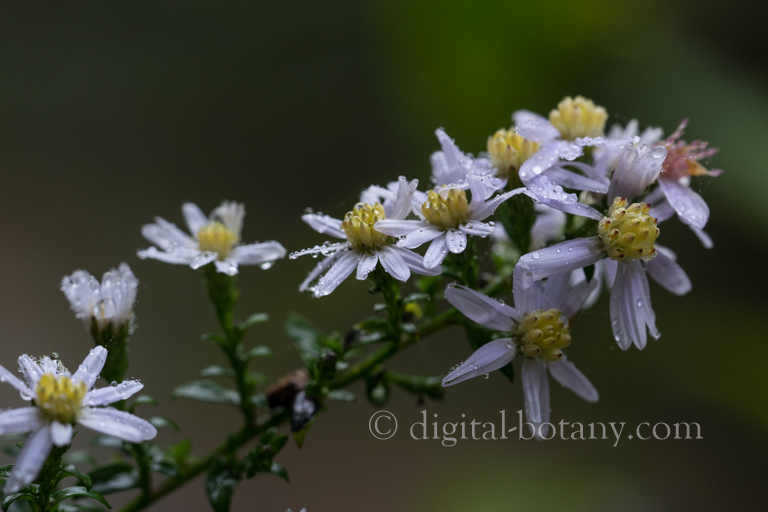 Crooked-stem Aster