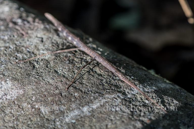 Blatchley Walkingstick