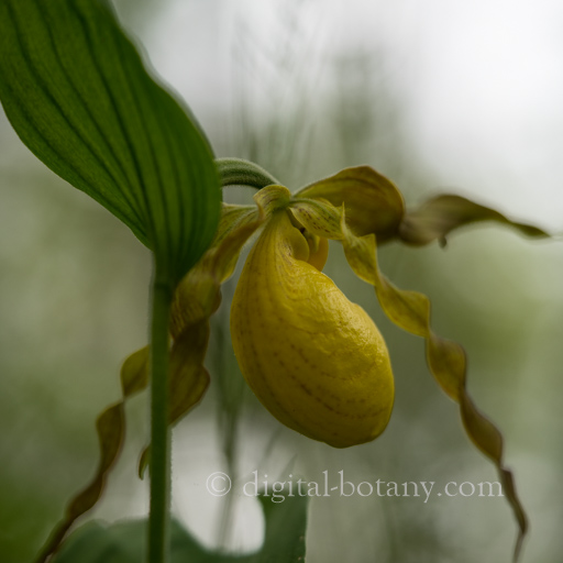 Large Yellow Lady's Slipper Orchids