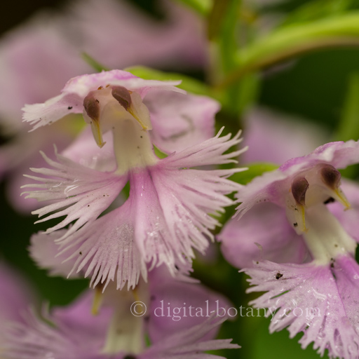 Shenandoah National Park – Orchids of Summer