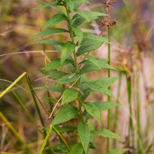 Canada Goldenrod leaves