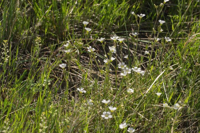 Prairie Mouse-ear
