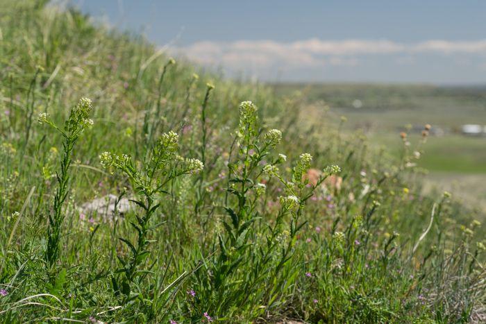 Mesa Pepperwort