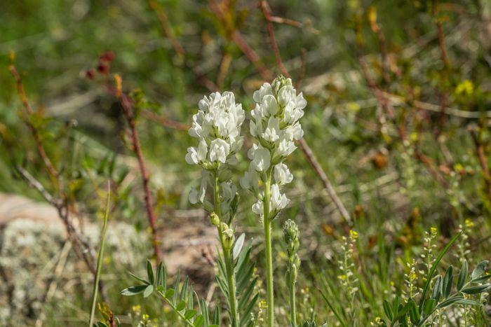 White Locoweed