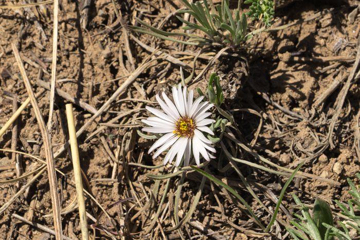 Largeflower Townsend Daisy