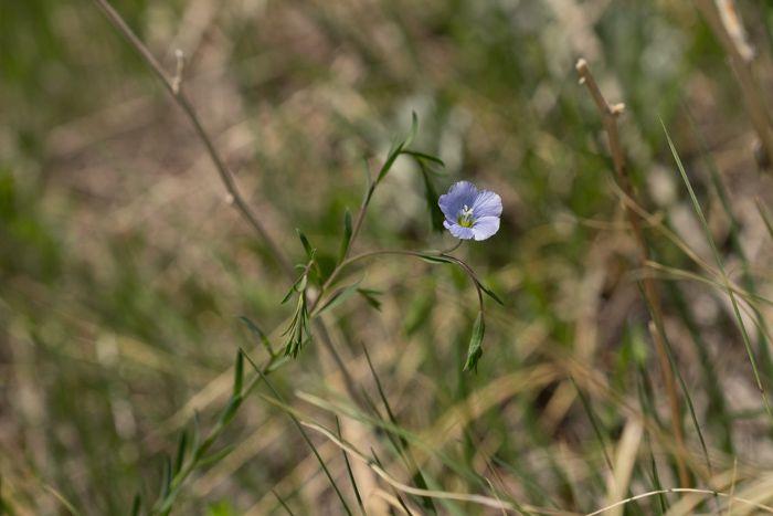 Prairie Flax