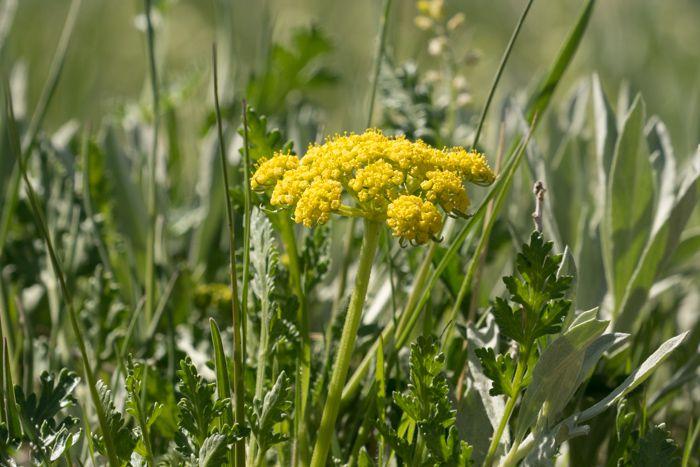 False Salsify Flower