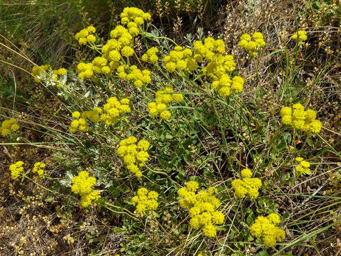 Sulfur Flower