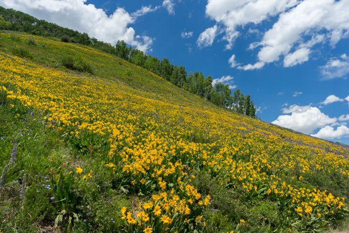 Crested Butte Aspen Sunflowers