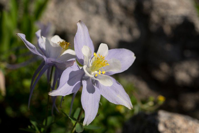 Colorado Blue Columbine (Aquilegia coerulea) state flower of Colorado