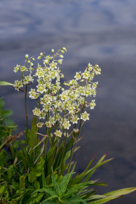 Mountain Death Camas (Zigadenus elegans)