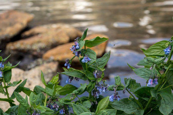 Mountain Bluebells (Mertensia ciliata)