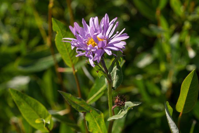 Alpine Leafybract Aster (Aster foliaceus)