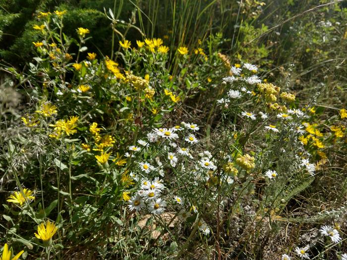 Asters wildflowers