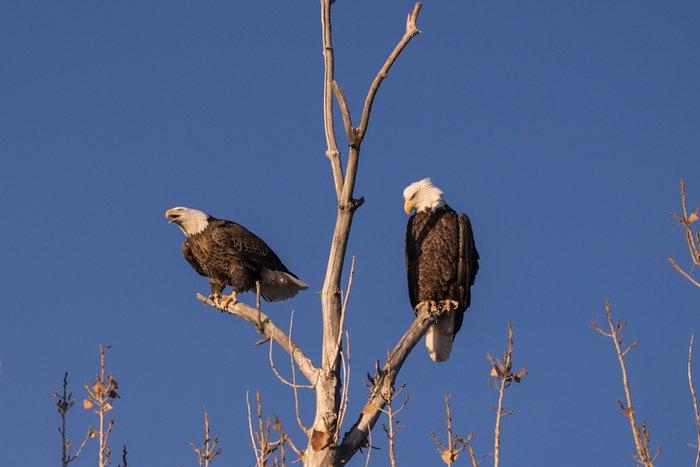 Bald Eagles Colorado