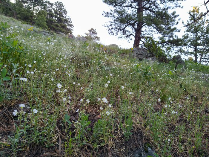 Wildflowers on Sunshine Canyon Trail Boulder Colorado